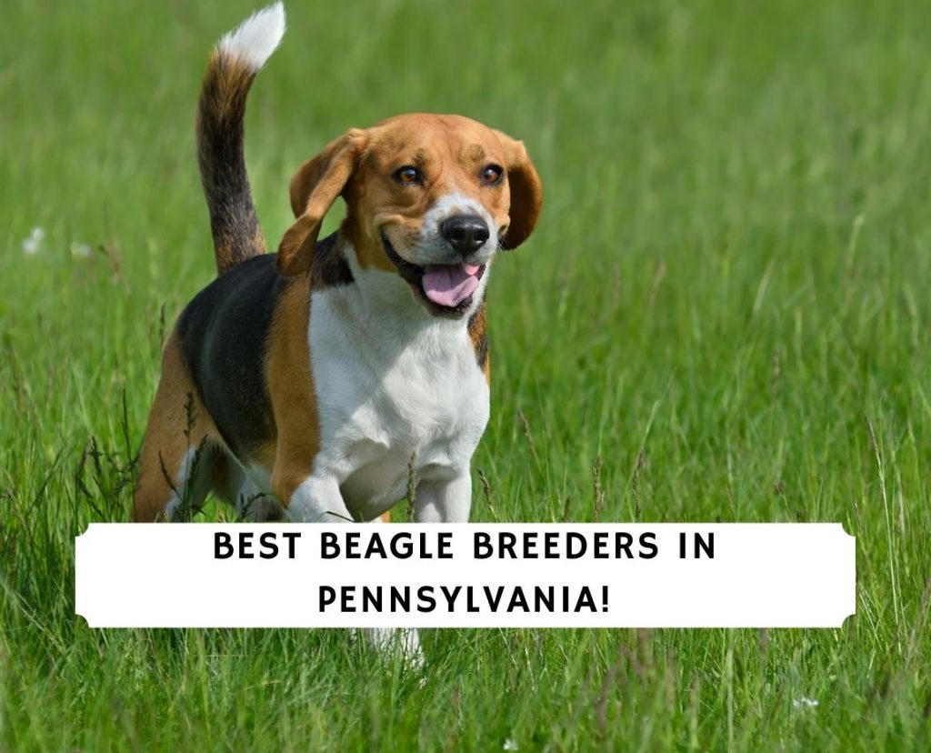 Beagle Breeders in Pennsylvania