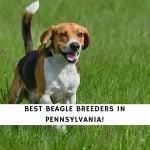 Beagle Breeders in Pennsylvania