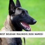 Belgian Malinois Dog Names