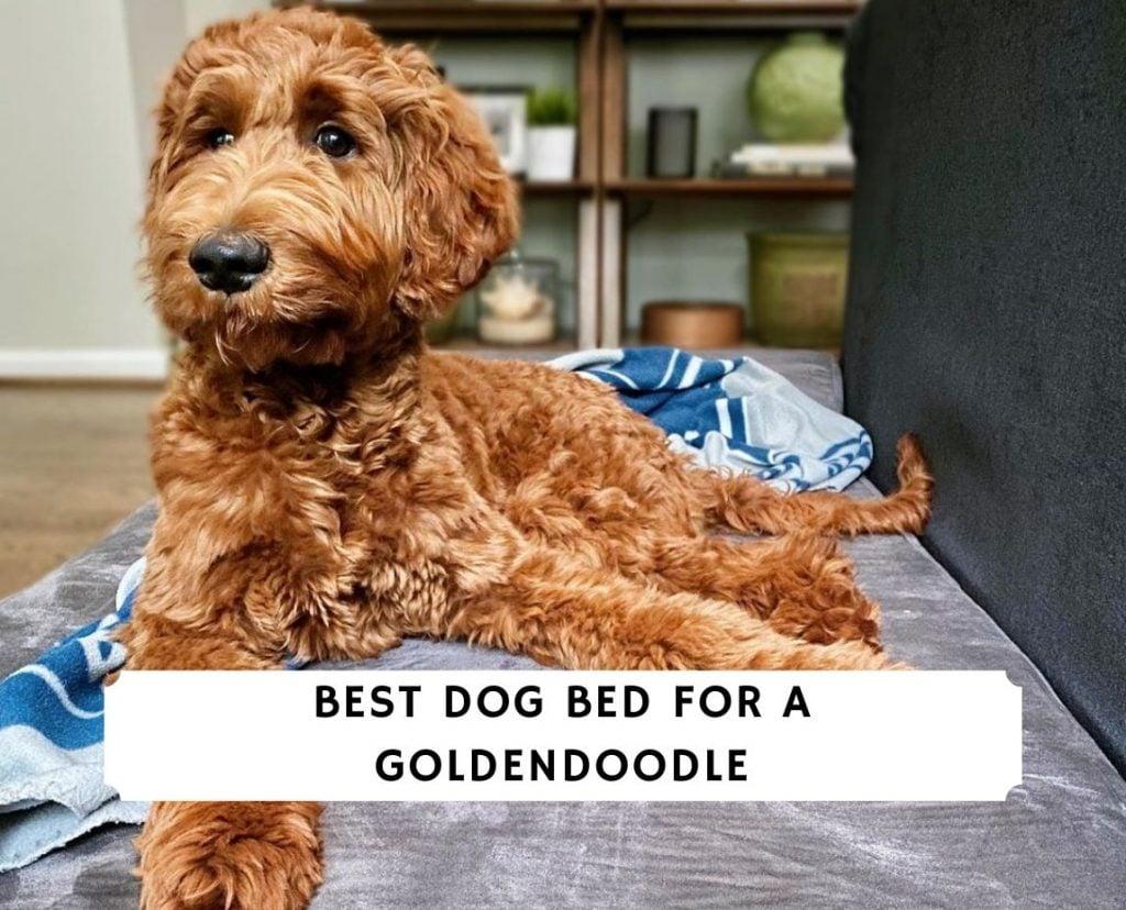 Best Dog Bed for a Goldendoodle