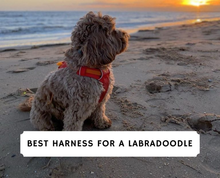 Best Harness for a Labradoodle
