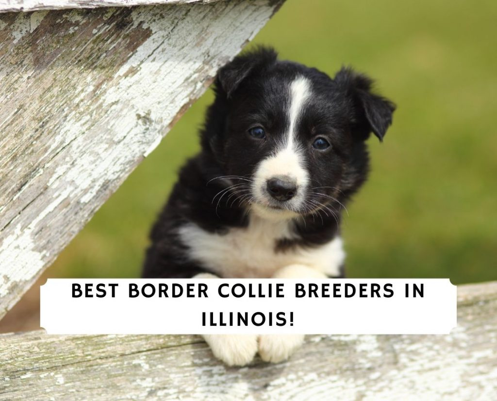 Border Collie Breeders in Illinois