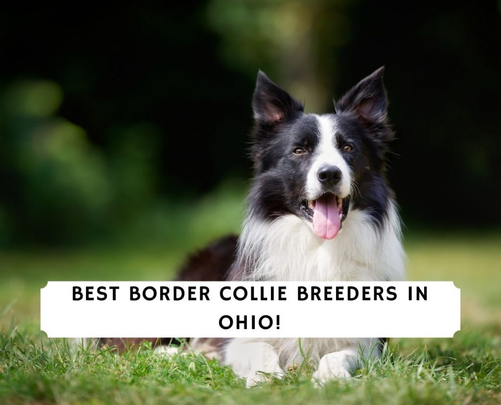 Border Collie Breeders in Ohio