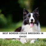 Border Collie Breeders in Ohio