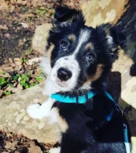Border Collie Puppies For Sale in Illinois