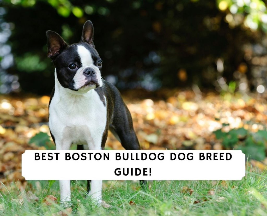 Boston Bulldog