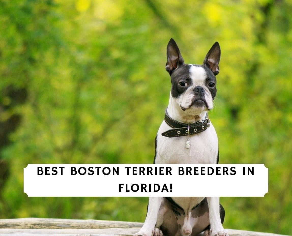 Boston Terrier Breeders in Florida