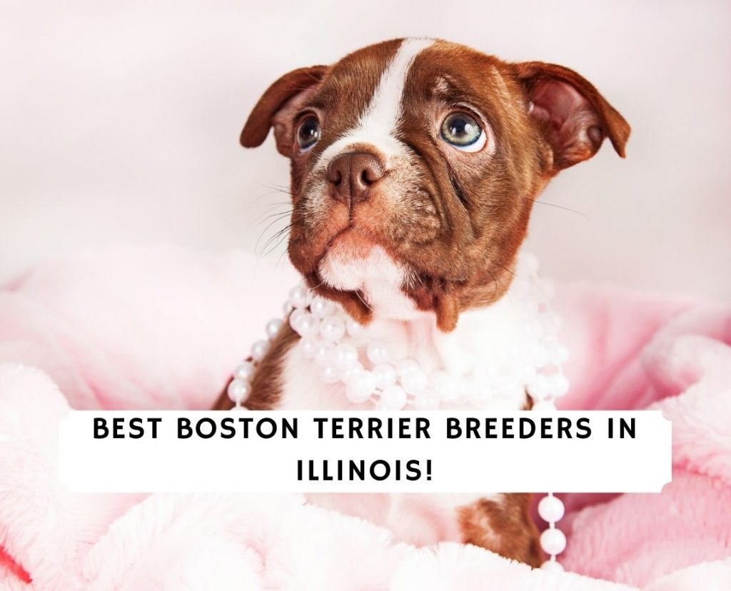 Boston Terrier Breeders in Illinois