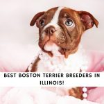 Boston Terrier Breeders in Illinois
