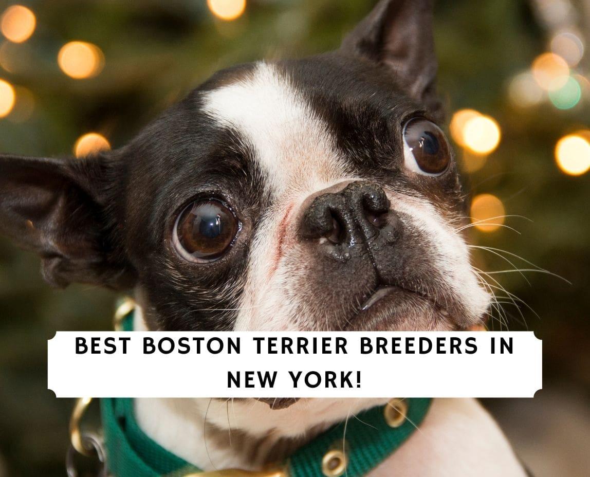 Boston Terrier Breeders in New York