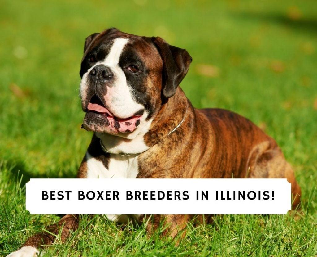 Boxer Breeders in Illinois