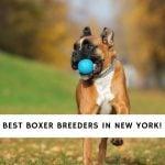 Boxer Breeders in New York