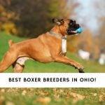 Boxer Breeders in Ohio
