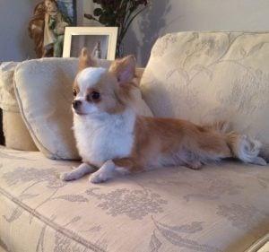 Brislin Chihuahuas