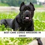Cane Corso Breeders in Ohio