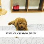 Cavapoo Sizes