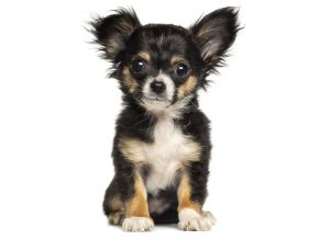 More Information About Chihuahua Puppies in Florida