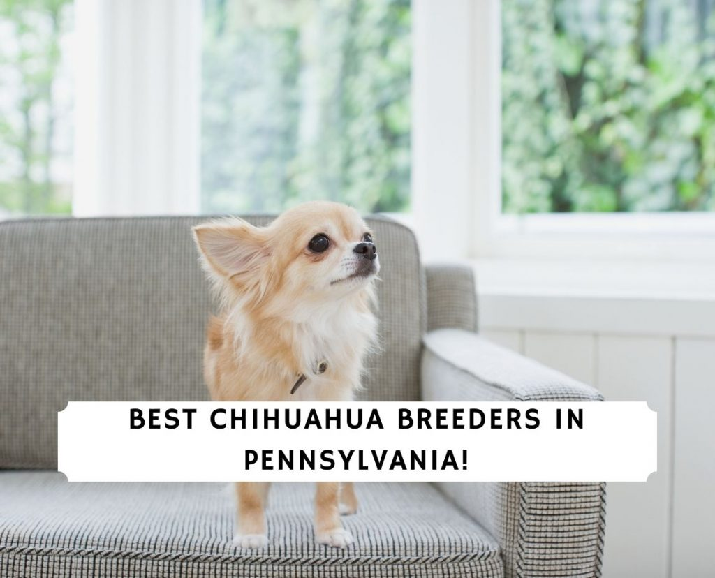 Chihuahua Breeders in Pennsylvania