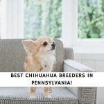 Chihuahua Breeders in Pennsylvania