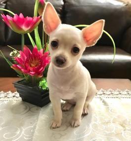 Chihuahuas Pennsylvania