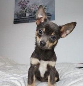 Chihuahuas Florida