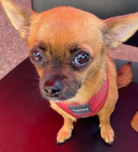 Chihuahua Puppies For Sale in North Carolina