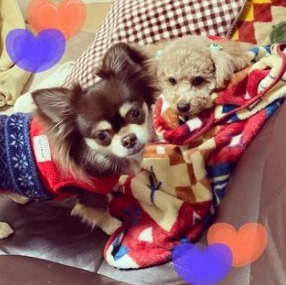 Chihuahua Puppies For Sale in Pennsylvania