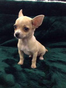 Chihuahua puppies in North Carolina