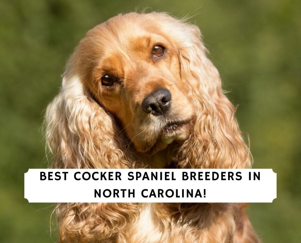 Cocker Spaniel Breeders in North Carolina