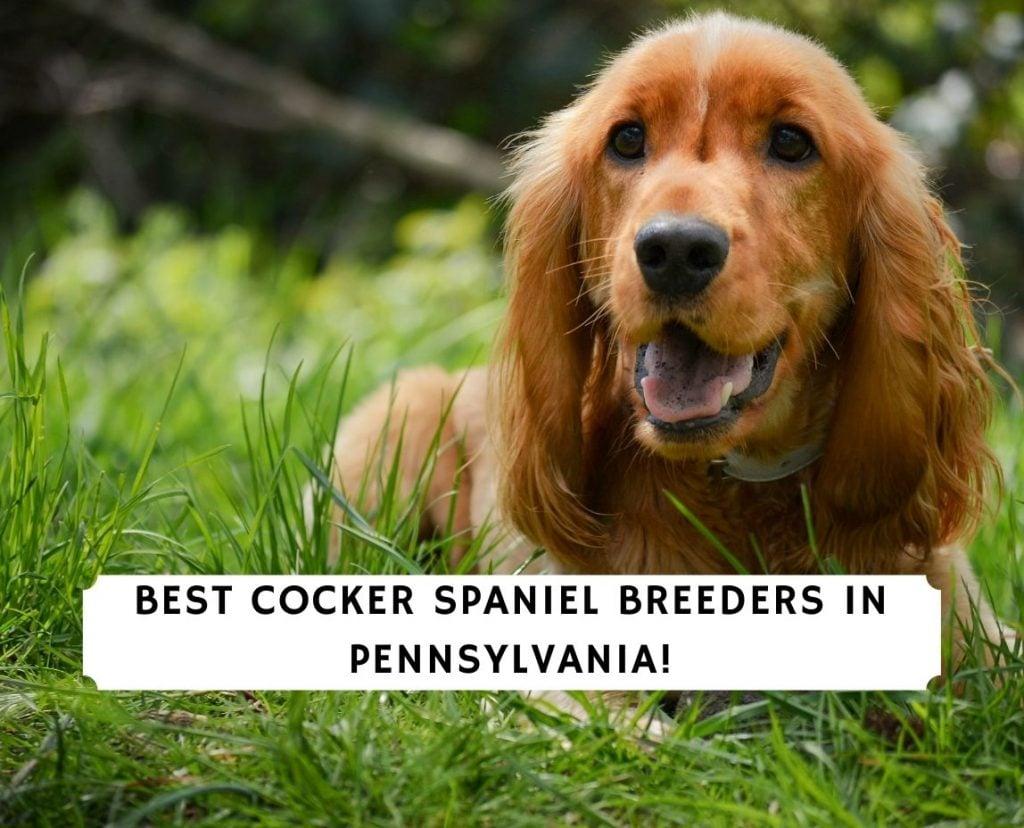 Cocker Spaniel Breeders in Pennsylvania