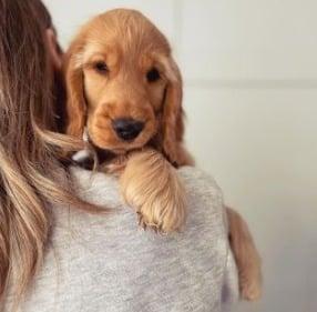 Cocker Spaniel Puppies For Sale in Pennsylvania