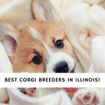 Corgi Breeders in Illinois