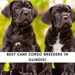 Corso Breeders in Illinois