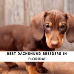 Dachshund Breeders in Florida