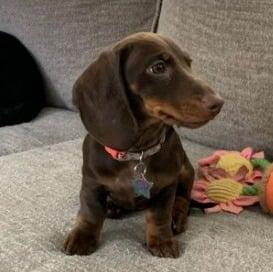 Dachshund puppies in Ohio