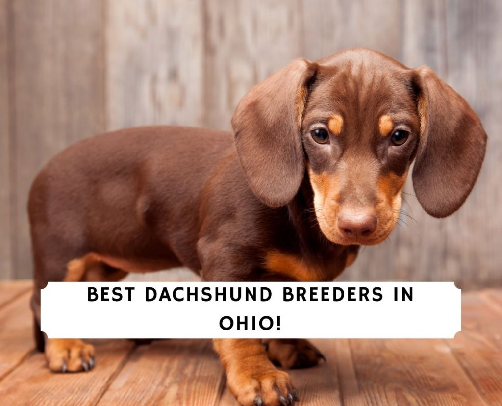 Dachshund Breeders in Ohio