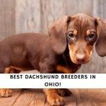 Dachshund Breeders in Ohio