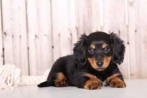 More Information About Dachshund Puppies
