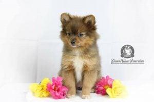 Diamond Heart Pomeranians