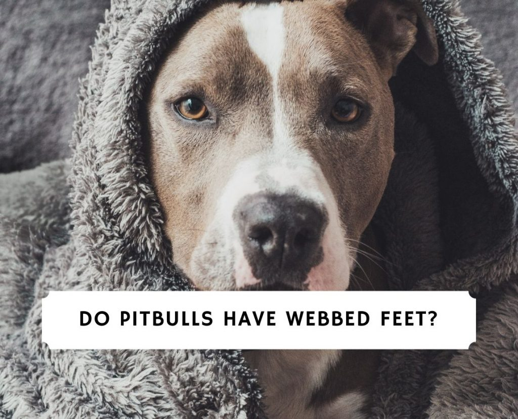 Do Pitbulls Have Webbed Feet
