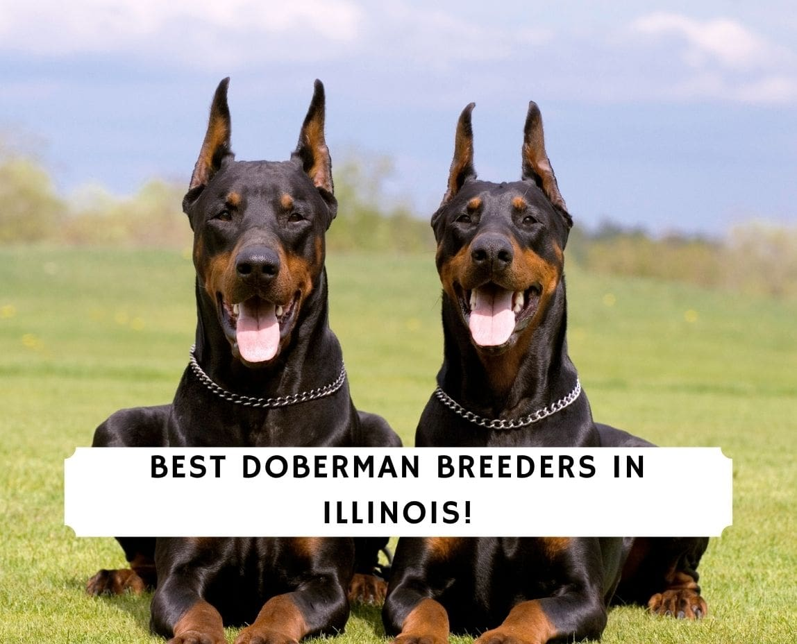 Doberman Breeders in Illinois