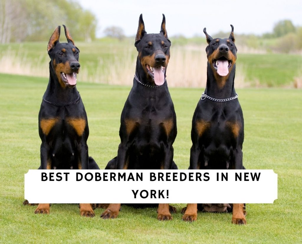 Doberman Breeders in New York