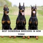Doberman Breeders in New York