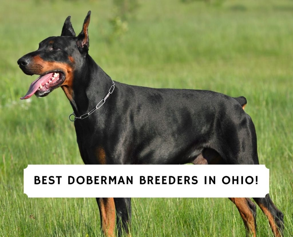 Doberman Breeders in Ohio