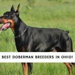 Doberman Breeders in Ohio