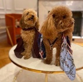 Dog Poodle Breeds