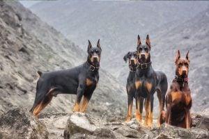 Dog Team Dobermans