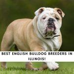 English Bulldog Breeders in Illinois