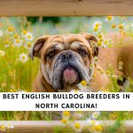English Bulldog Breeders in North Carolina