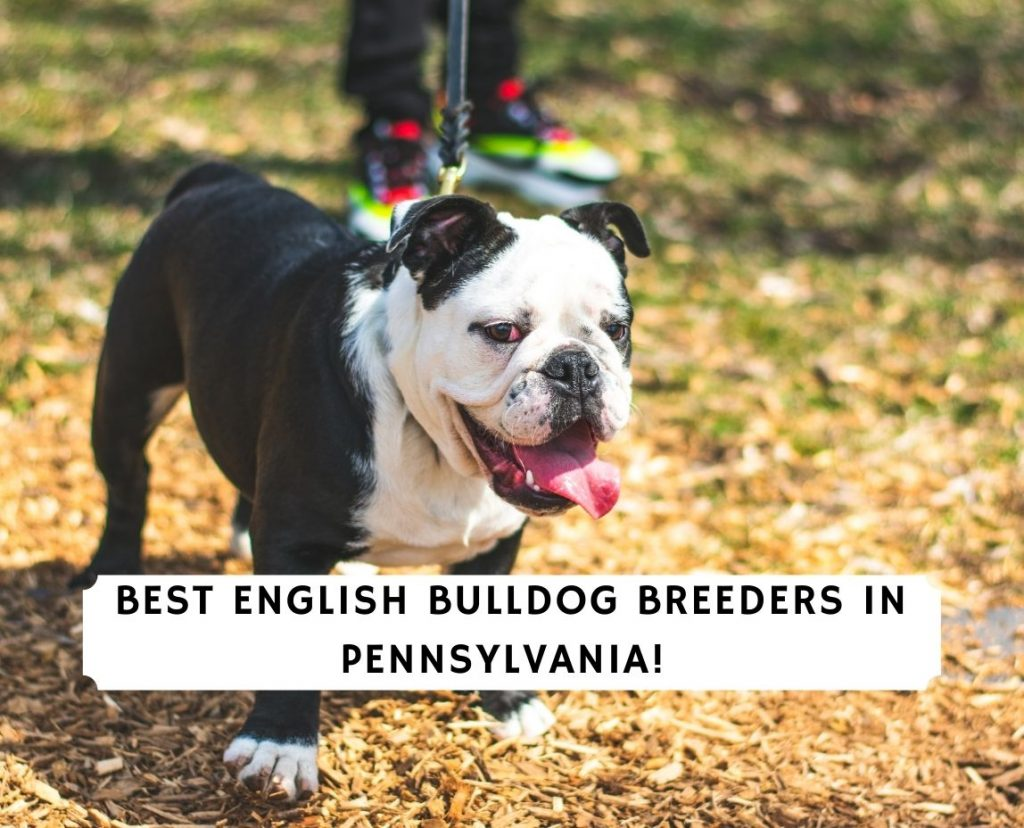 English Bulldog Breeders in Pennsylvania